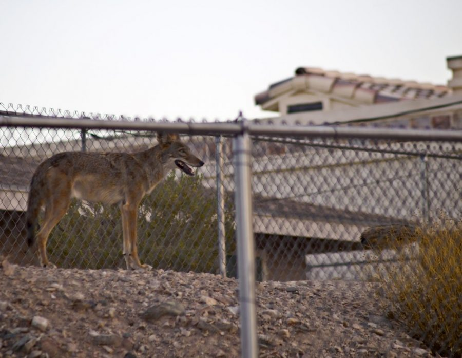 How Arcadia is Addressing its Coyote Problem