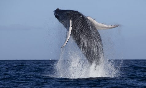 Stop Killing Whales For Our Own Good